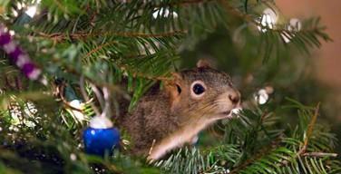 Рождественская елка стала домом для спасенной белки