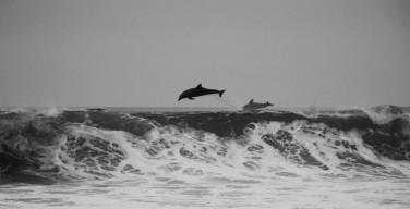Выбросившихся на берег в Новой Зеландии черных дельфинов спас прилив