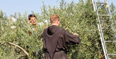 В Гефсиманском саду начался сбор оливок