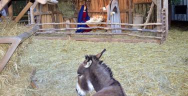 Приход в Уэльсе обвинили в эксплуатации живых ослов для украшения рождественского вертепа