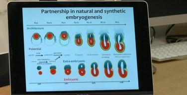В Великобритании ученые создали первый в мире искусственный эмбрион