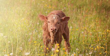 В Израиле заявили о рождении красной коровы